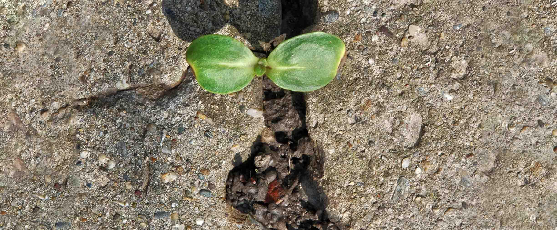 planta resistente que crece en una rajadura en el concreto