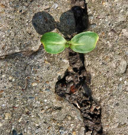 resilient plant growing through concrete cracks